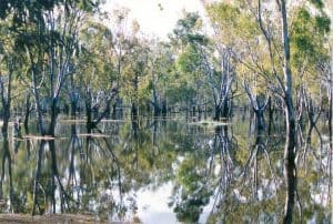 Photograph of River Red Gum trees submerged in water.