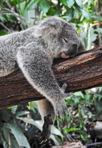 Koala sleeping on a log